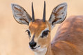Close up of steenbok ram head with beautiful harns detail standing in the shade Stock Photo