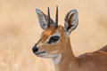 Close up of steenbok ram head with beautiful harns detail standing in the shade Royalty Free Stock Image
