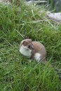 A close up of a stoat image standing amongst grass looking to the right Stock Images