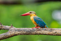 Close up of Stork-billed Kingfisher Royalty Free Stock Photo