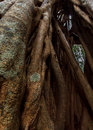 Close up of strangler fig a different a interesting background the twisted vines a Stock Photos