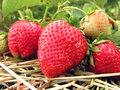 Close-up of the strawberry Royalty Free Stock Images