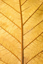 Close up Structure of Grunge Dry Leaf Texture Royalty Free Stock Photo