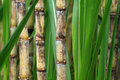Close up of sugarcane plant Stock Image