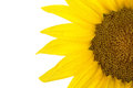 Close up of sunflower Stock Photos