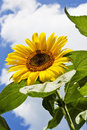 Close up of sunflower against blue sky Royalty Free Stock Photo