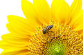 Close Up of Sunflower with bee. Royalty Free Stock Photo
