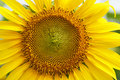 Close-up of a  sunflower in a field Royalty Free Stock Photo