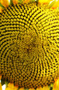 Close up of a sunflower head Stock Photo