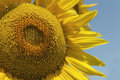 Close up of sunflower over blue sky. Royalty Free Stock Photo