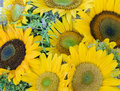Close up of sunflowers Royalty Free Stock Photo