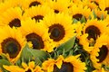 Close Up Of Sunflowers From The Netherlands Royalty Free Stock Photo