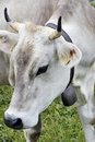 Close up of Swiss cow Stock Photography