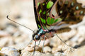 Close up Tailed Jay butterfly with have green spots on wings Royalty Free Stock Photo