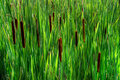 Close-Up of Tall Cat-tails ( Typha latifolia ) Royalty Free Stock Photography