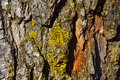 Close-up texture of Pine tree bark with orange cambium and yellow green lichen Royalty Free Stock Photo