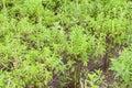 thai basil or sweet basil in the garden Royalty Free Stock Photo