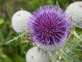 Close up of a thistle Stock Photography
