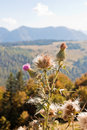 Close-up thistle in austrian alps Royalty Free Stock Photos