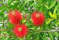 Close up of three blossoms on the bottlebrush shrub in an arizona desert garden Royalty Free Stock Photo