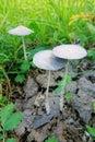 Wild mushroom Royalty Free Stock Photo
