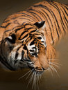 Close Up of Tiger Royalty Free Stock Photography