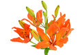 Close up Tiger Lily flower Royalty Free Stock Photos