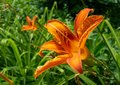 Close-up. A tiger lily in the park Royalty Free Stock Photo