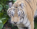 Close up tiger making eye contact Stock Image