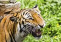 Close up of a tiger s face with bare teeth bengal Stock Photography