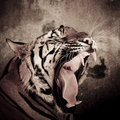 Close up of a tiger s face with bare teeth of bengal tiger sepia color background Stock Photos