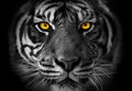 Close up on a tiger s face monochrome portrait with akcent on ye the yellow eyes Stock Photos