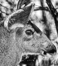 Close up tight shot of a mule buck deer head and face Royalty Free Stock Photo