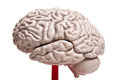 Close up to human brain anatomy Royalty Free Stock Images