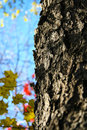 Close up of tree bark with autumn leaves in background Stock Images