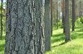 Close up of tree trunk in forest coniferous spring time Stock Image