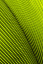 Close up of Tropical Green Leave Texture Royalty Free Stock Photo