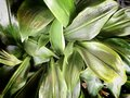 Close up tropical nature green leaf texture background. Vintage tone filter color style. Royalty Free Stock Photo
