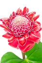 Close up tropical pink torch ginger flower etlingera elatior iso isolated on white background Royalty Free Stock Photo