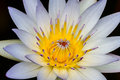 A Close up of a Tropical White Water Lily Flower with Center Stamens Partially Closed Royalty Free Stock Photo