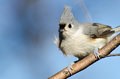 Close Up of a Tufted Titmouse Stock Image