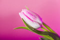 Close up of tulip Royalty Free Stock Photo