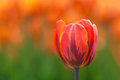 Close up of a tulip on green orange background Stock Photo