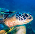Close up of a turtle with remora head hawksbill and Royalty Free Stock Photography
