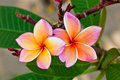 Close-up of two beautiful pink plumeria Royalty Free Stock Photos