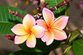 Close-up of two beautiful pink plumeria Stock Photography