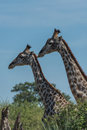Close up of two giraffe side by side above trees Royalty Free Stock Photo