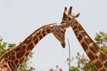 Close up of two giraffes necks and heads photographed in captivity Stock Photo