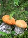 Close-up of two orange-cap boletus Stock Photography