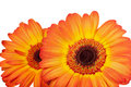 Close up two orange gerbera on white background Royalty Free Stock Image